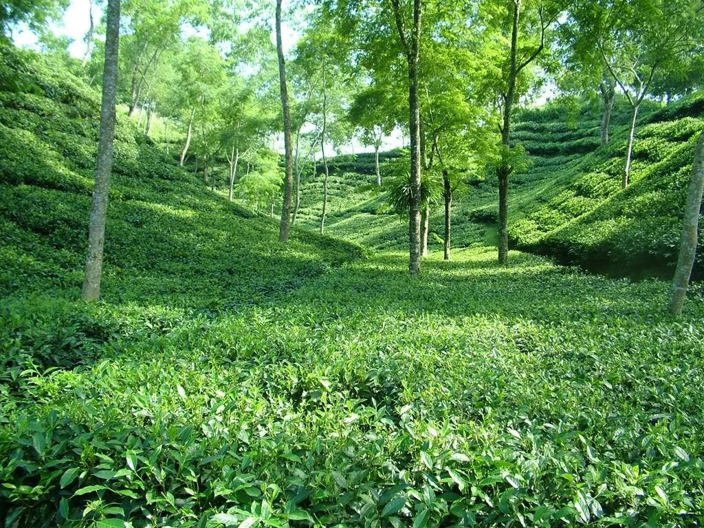 srimangol-tea-garden